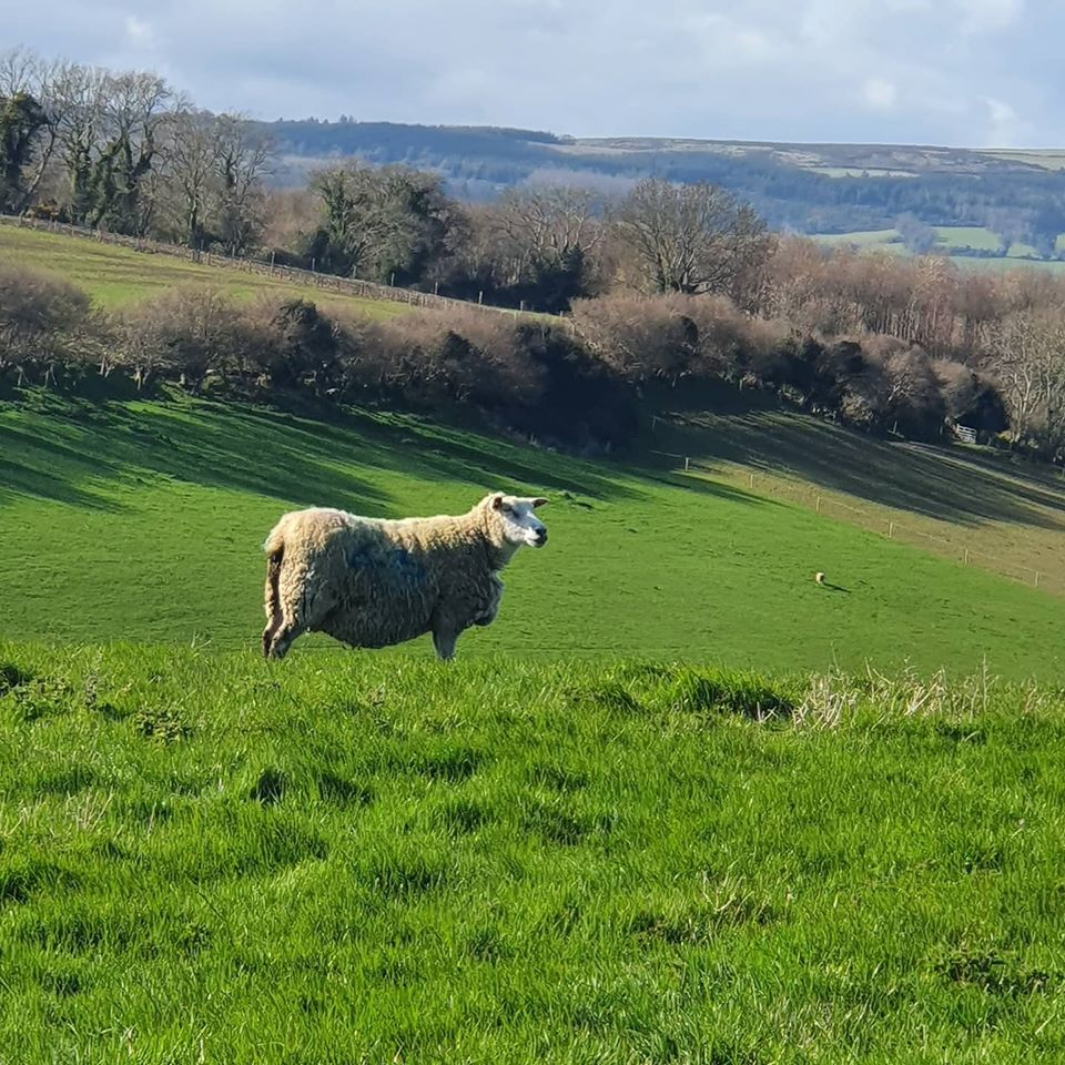 Kilmullen Farm ewes County Wicklow - with Farmers Markets closed how do you adapt your business. Join in the Bord Bia webinar on April 24