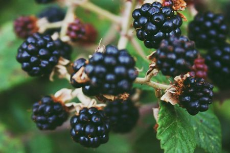 Blackberries, the perfect fruit to forage…